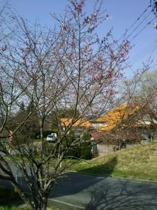 画像は今日の一関工場のヤマザクラの様子。まだ2分咲きといったところです。