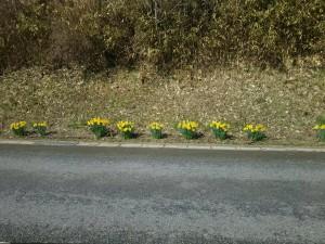 文面と関係はないですが、一関工場下の道端に黄色い水仙が咲きました