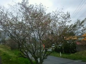 (画像は葉桜になった一関工場の山桜)